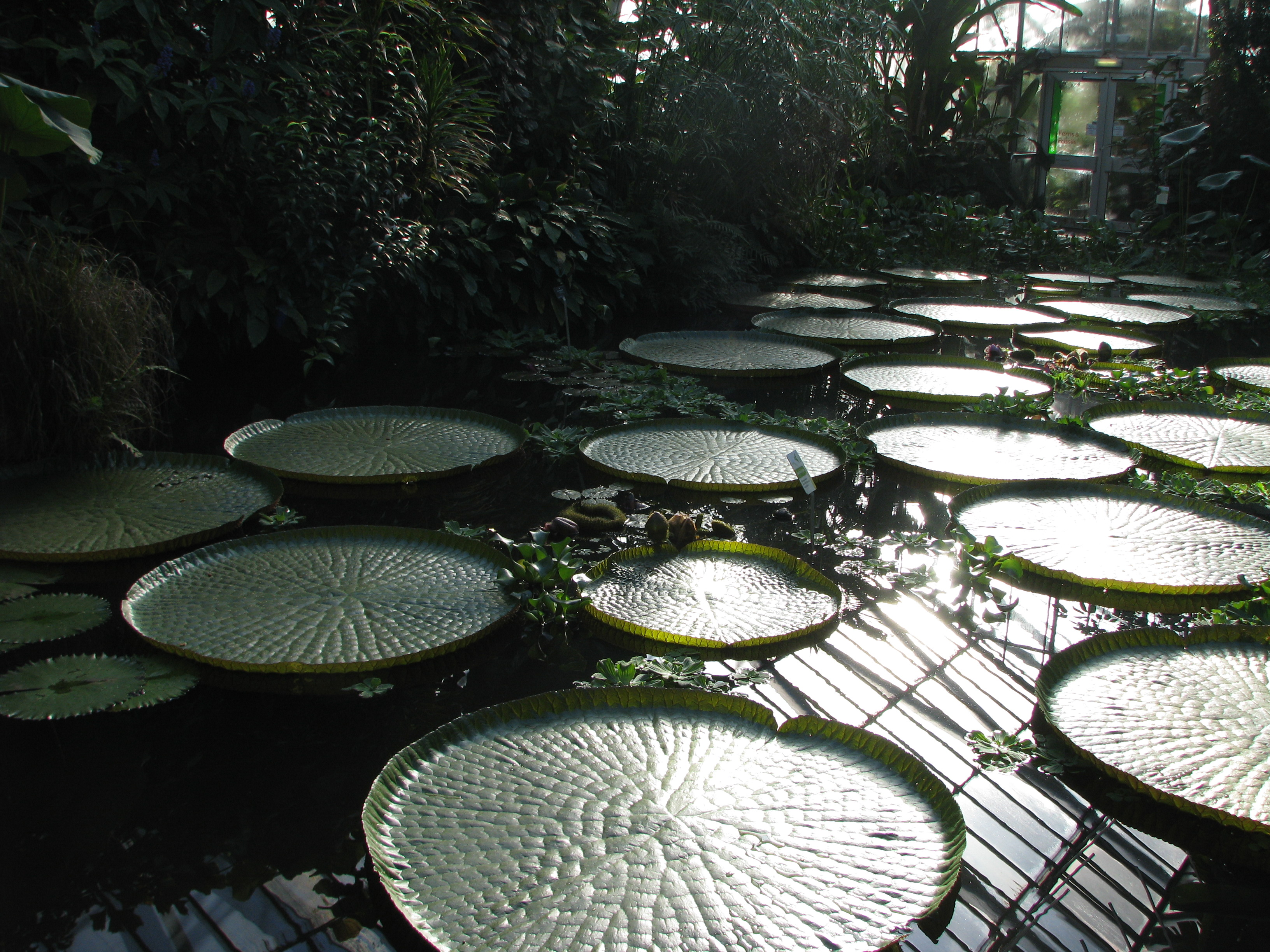 pond at the Edinburgh botanical gardens' greenhouse (but no frogs)