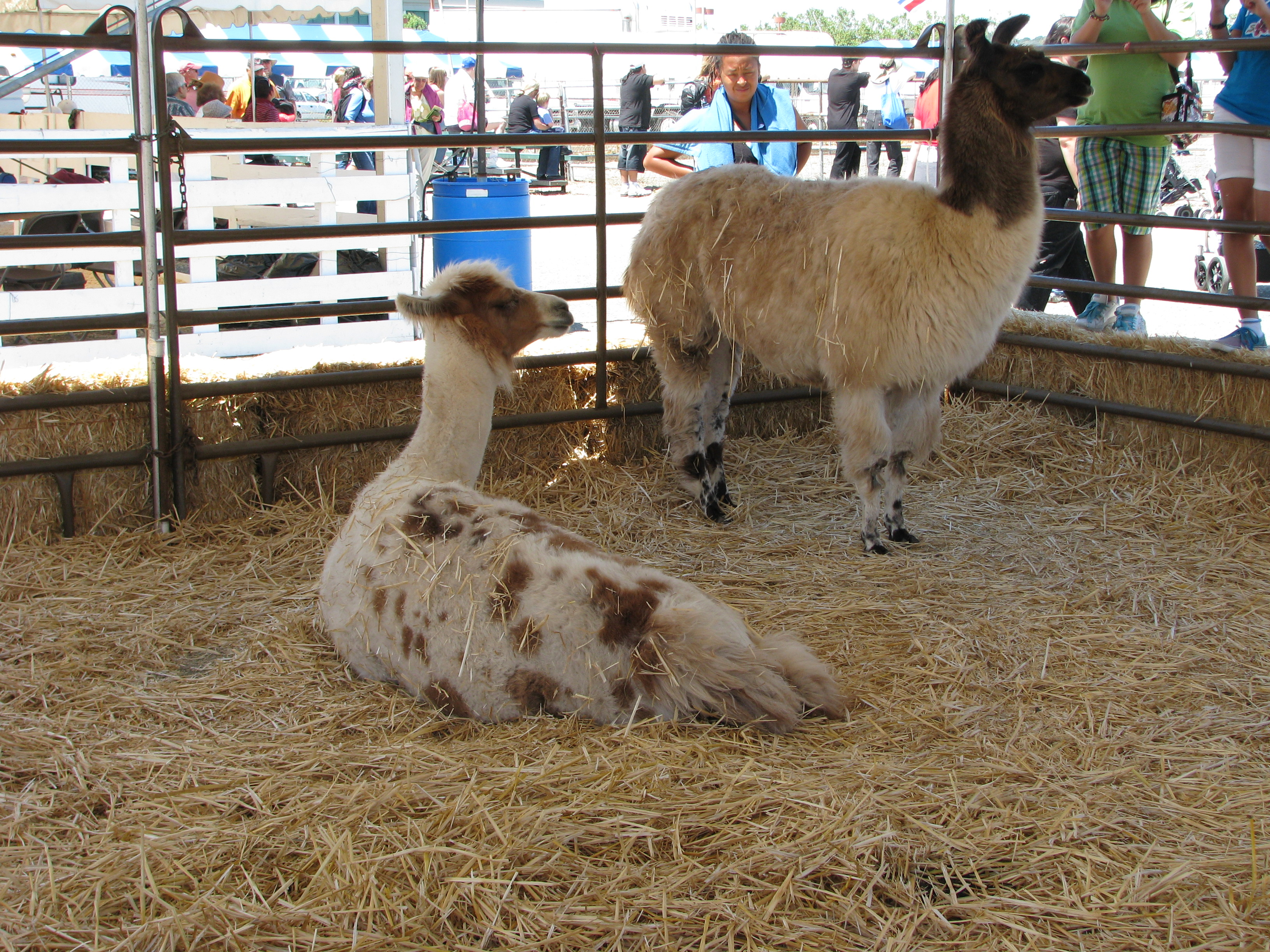 Llamas at the Marin County Fair