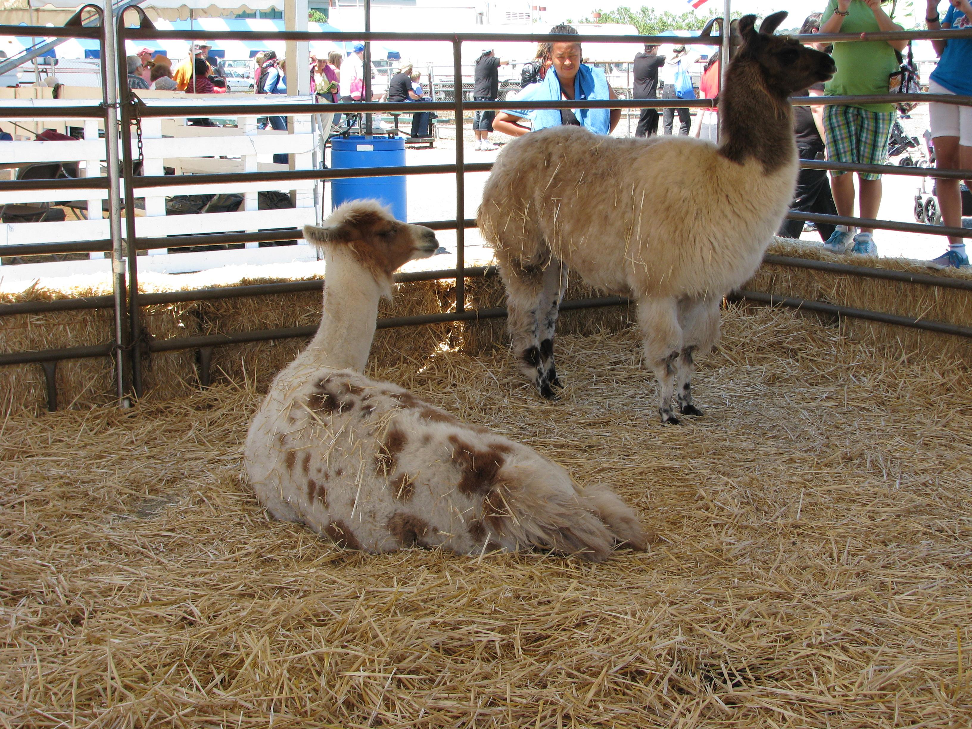 Llamas at the Marin County Fair